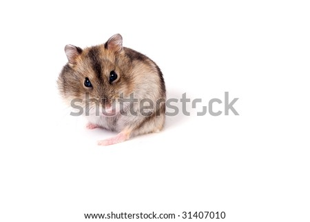 dwarf hamster isolated over white - stock photo