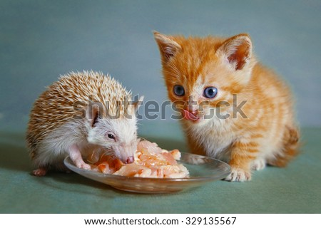 dwarf hedgehog and red kitten eating from the saucier together - stock photo