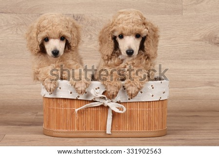 Dwarf poodle puppies sitting in a basket on wooden background - stock photo