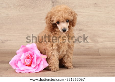 Dwarf poodle puppy with pink flower on wooden background - stock photo