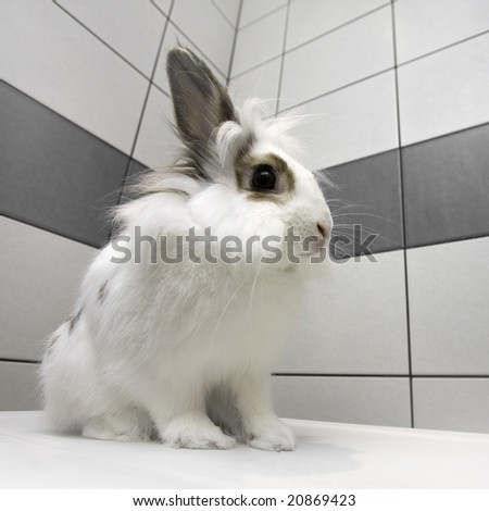 Dwarf rabbit - stock photo