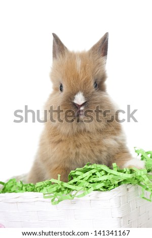 Dwarf rabbit sitting in a easter basket - stock photo