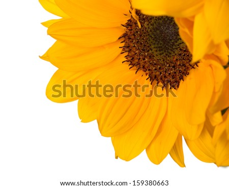 Dwarf sunflower (Helianthus annuus) with copy space - stock photo