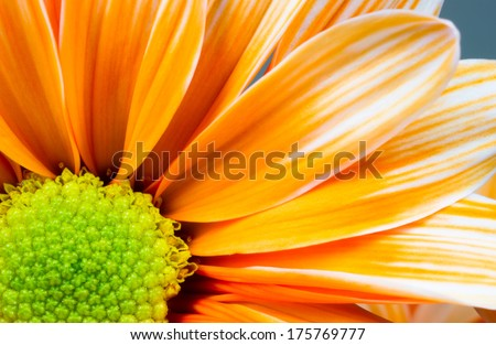 Dyed Daisy Flower White Orange Petals Green Carpels Close up - stock photo