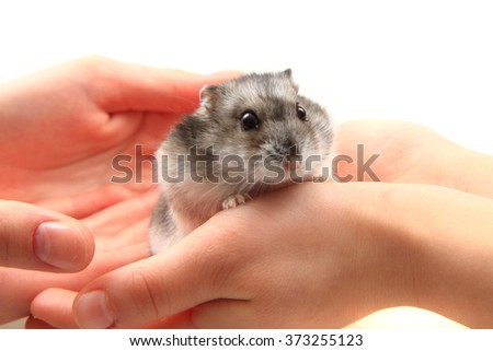 dzungarian hamster in human hands as nice pet  - stock photo