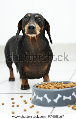 Eager Dachshund dog waiting to eat - stock photo
