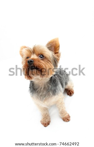 Eager sitting Yorkshire Terrier - stock photo