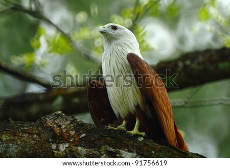 eagle - stock photo
