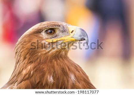 Eagle close up  - stock photo