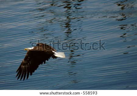 eagle flying over water with fish - stock photo
