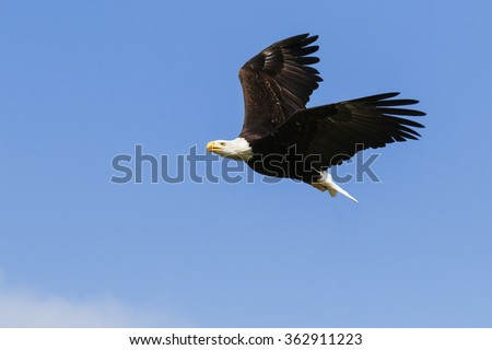 Eagle flying through blue skies. A magnificent bald eagle is seen flying through a clear blue sky. - stock photo