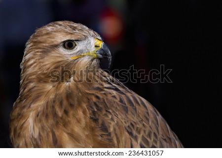 Eagle head harris with black background - stock photo
