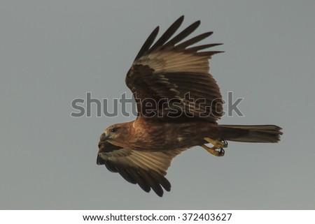 Eagle in flight: Brahminy Kite - stock photo