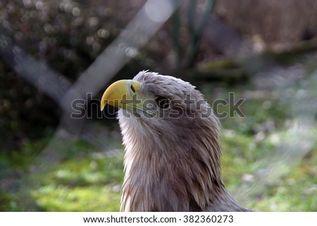 Eagle in the coop. - stock photo