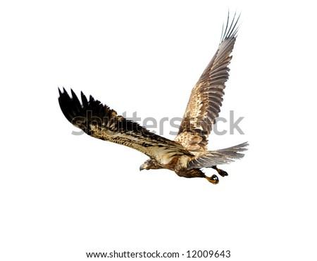 Eagle isolation - stock photo