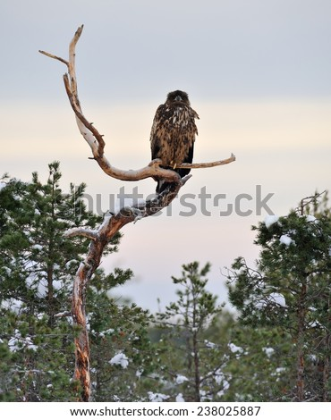 Eagle on tree - stock photo