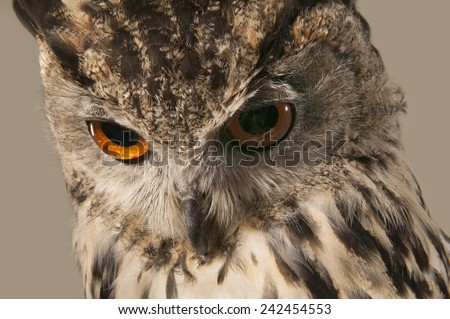 EAGLE OWL 9.  A well lit studio shot of an eagle owl looking down - stock photo