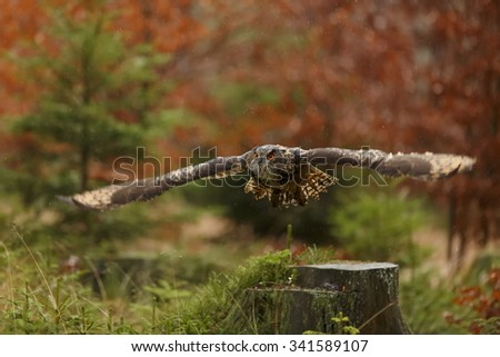 eagle owl after starting to fly - stock photo