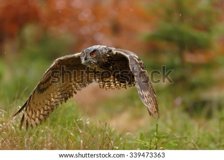 eagle owl flying in the autumn forest - stock photo