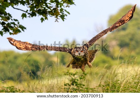Eagle Owl flying low over a hedge - stock photo