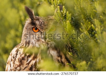 eagle owl hide behind trees - stock photo