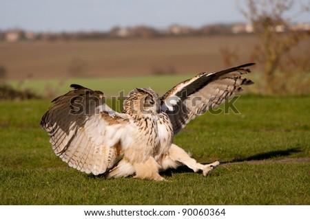 Eagle Owl landing on the ground - stock photo
