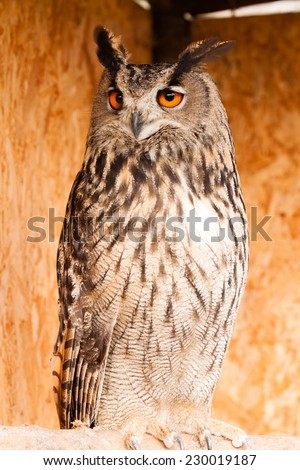 Eagle owl sitting and staring watching something - stock photo