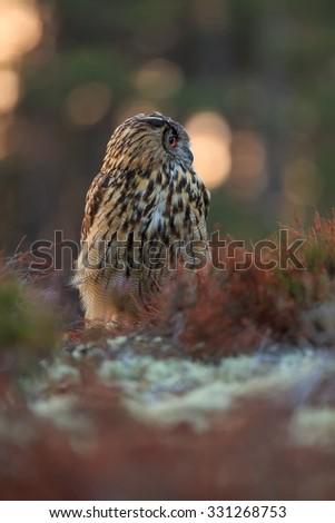 eagle owl sitting in heather with sunrise - stock photo