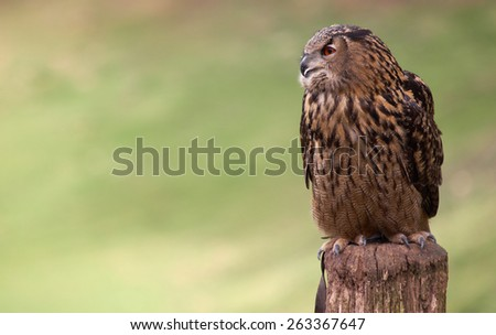 Eagle Owl staring sideways - stock photo