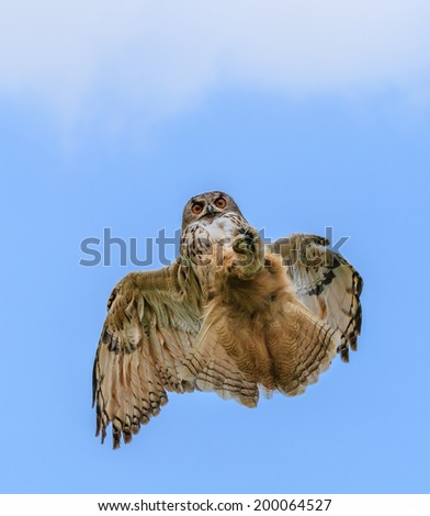 Eagle Owl swoops from the sky down on its prey - stock photo