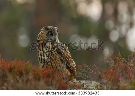eagle owl with background sunrise - stock photo