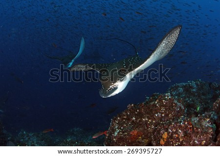 Eagle ray swimming by in Galapagos Ecuador - stock photo
