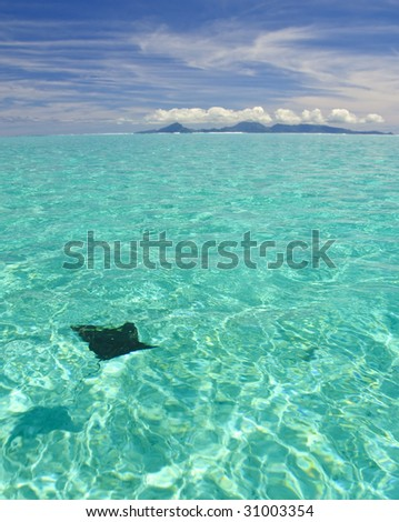 Eagle ray swimming toward Raiatea - stock photo