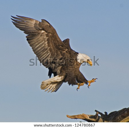 Eagle ready to settle on perch - stock photo