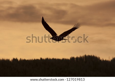 Eagle silhouetted against a warm sunset sky - stock photo