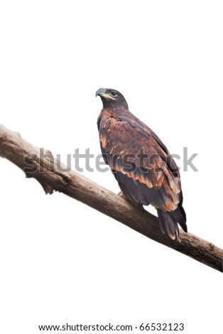 Eagle sitting on a log on a white background - stock photo