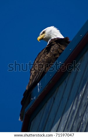 Eagle sitting on Rooftop - stock photo