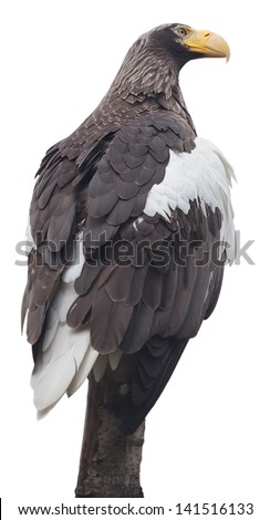eagle, the noble bird of prey/ isolated on white - stock photo