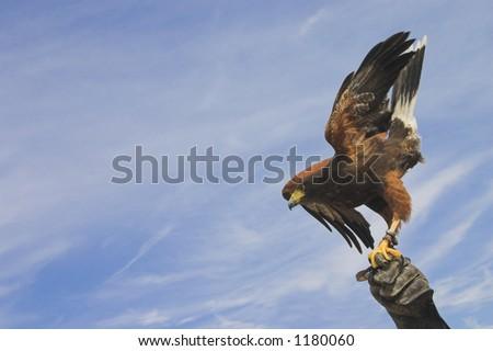 eagle towards the sky - stock photo