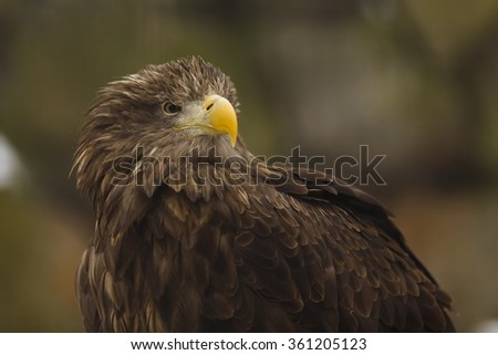 eagle white tailed close up - stock photo