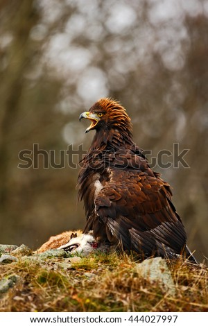 Eagle with catch. Golden Eagle, Aquila chrysaetos, bird of prey with kill red fox on stone, photo with blurred orange autumn forest in the background, Norway. Eagle feeding fox. Eagle with carcass.  - stock photo