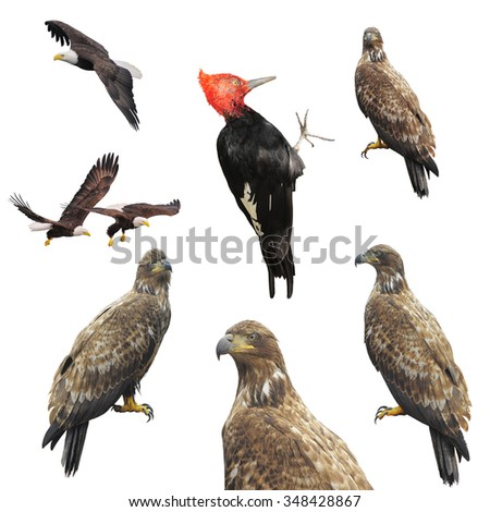 Eagles and woodpecker isolated on the white background. - stock photo