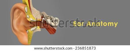 Ear Anatomy - stock photo