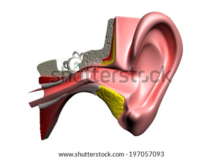 Ear anatomy in isolated background - stock photo