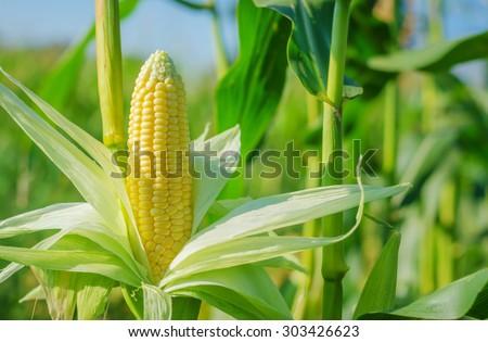 Ear of corn in a corn field in summer before harvest. - stock photo