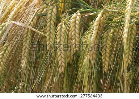 Ear of grain / Ear of grain close-up, blurred background - stock photo