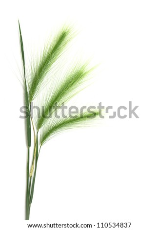 ear of green wheat on a white background - stock photo