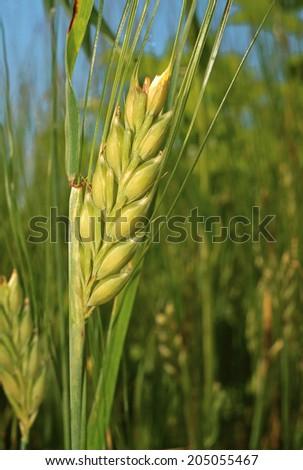 Ear of rye on the field closeup - stock photo