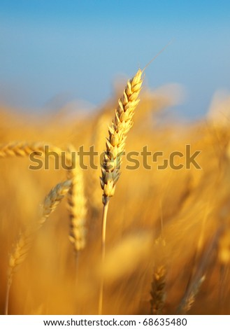 Ear of the wheat on field. Natural composition - stock photo