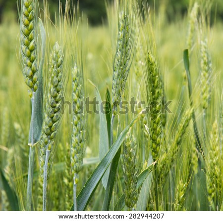 ear of wheat agriculture green background  - stock photo